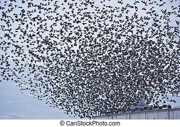 fenómeno natural, muy, starlings, annually, apretado,...