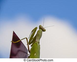 fence., 捕食動物, かまきり, mantis., 昆虫, 祈ること, 赤