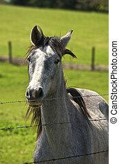 fence., cheval, quelques-uns, jeune, nous, arabe, salue, spectacles, esprit, il