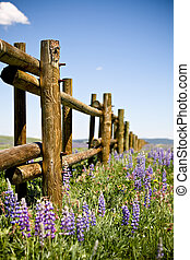 fence through field of lupin in the Bighorn mountains,...