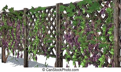 fence with vine tendrils on white background - fence with...