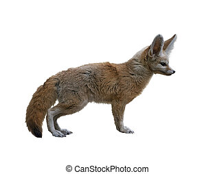 Fennec Fox isolated on white