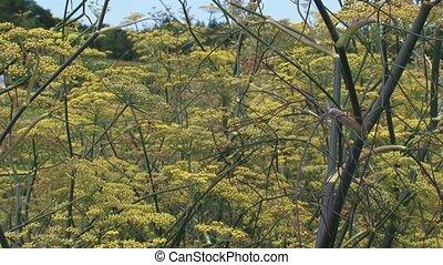 Fennel, Foeniculum vulgare, blooming - full screen. Fennel...