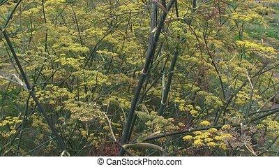 Fennel, Foeniculum vulgare, flowerheads - full screen.