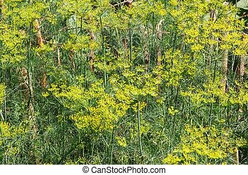 Fennel growing in home garden, culinary dill in garden