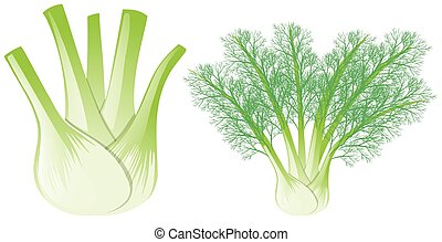 Fennel head and leaves illustration