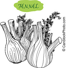 Fennel. Hand drawn graphic illustration
