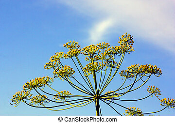 Fennel with blue sky on the background. Shallow DOF.