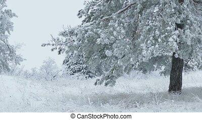 fenyő fa, alatt, hó, vad, erdő, karácsony, tél, elágazik, hó