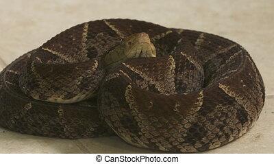 Fer-De-Lance Snake| Bothrops Asper, , Costa Rica - Extreme...