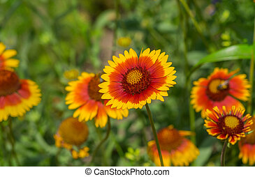 Feral Indian blanket flower in a summer garden