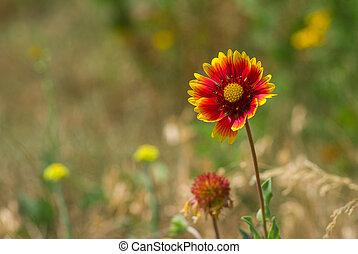 Indian blanket flower in a summer wild field
