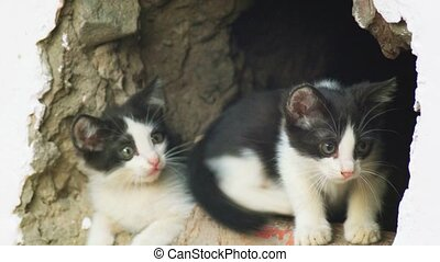 Feral kittens in wall gap looking out and play. - Feral...