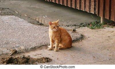 Feral Orange Tabby Cat sitting near metal fence