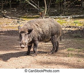 Feral pig, wild hog boar - Wild boar in wood walking on dirt