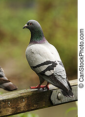 Feral pigeon on gate