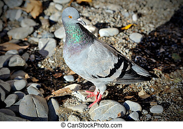 Feral pigeon with blurred background