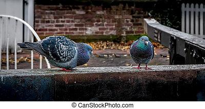 Feral Pigeons, Columba livia performing a Mating Ritual in an Urban Setting.