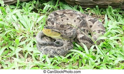 Ferdelance Pit Viper watching his target to bite. In the...