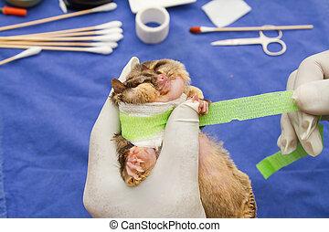 ferido, sugarglider, tratados, por, veterinarians