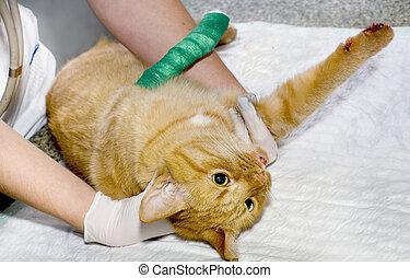 ferido, tratados, veterinarians, gato