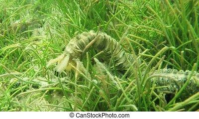 fermé, concombre, mer, sauvage, serpent, naturel, île maurice, sien, habitat