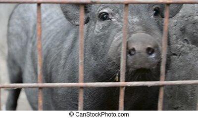 ferme, cage, cochon