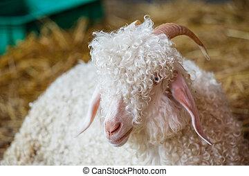 ferme, closeup, tête, sheep's