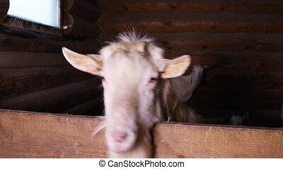ferme, enclos, chèvre blanche