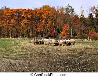 ferme mouton, automne