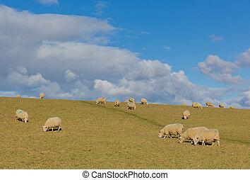 ferme mouton, troupeau, pâturage, champ