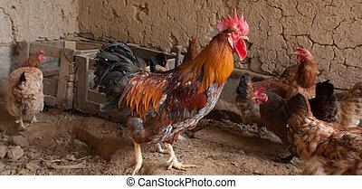 ferme, pays, poulailler, poulets, coq