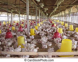ferme, poulet, java