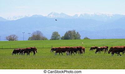 ferme, troupeau, suisse, pâturage, toile de fond, pré, ...