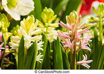 ferme, tulipe, espèce, coloré