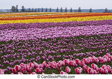 ferme, tulipe