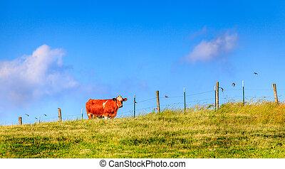 ferme, vache