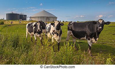 ferme, vaches, plante, biogas
