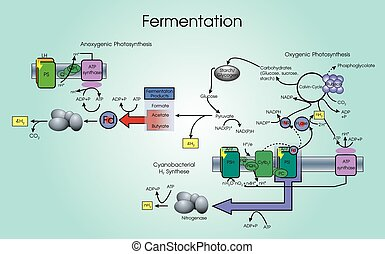 Fermentation is a metabolic process that converts sugar to...