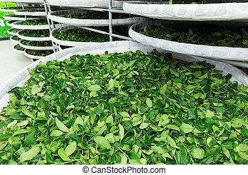 Fermentation of tea