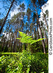 Fern - A fern at sunny summer forest