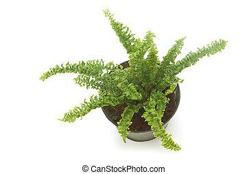 Fern (bracken) houseplant in pot , isolated