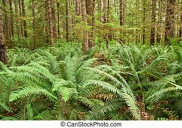 Fern forest - A young coniferous forest carpeted with...