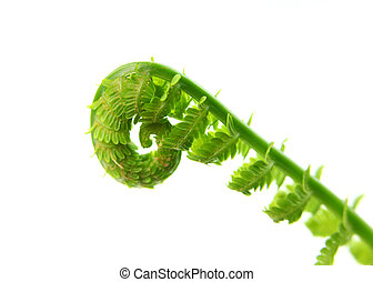 Fern - Fresh fern leaves against white background