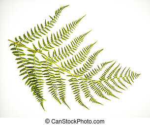 Fern Frond on White - Photo of a fern frond on a white...