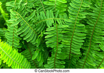 Fern green leaves foliage. Tropic background.