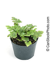 fern, house plant in a pot on white background