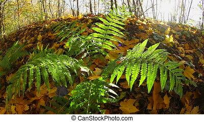 fern in autumn forest