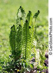 fern in spring closeup