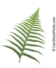 fern-leaf ,isolated on white background, pleasehave a look at my similar images about this theme